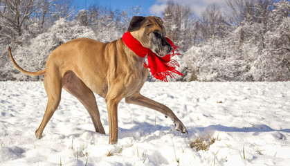 Great Dane in wintry, snowy scene with red scarf