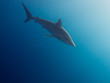 Silky shark (Carcharhinus falciformis) undersea