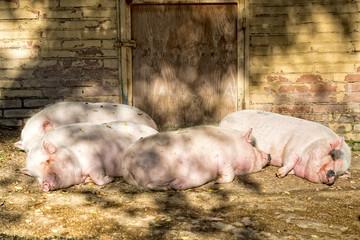 pink pig sleeping