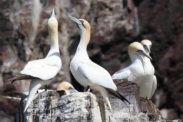 uccelli sula bassana rock scozia