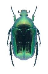 Beetle Protaetia caucasica