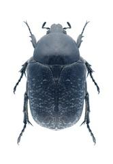 Beetle Protaetia asiatica