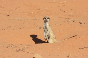 suricate mammifero carnivoro
