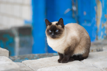 Graceful Siamese cat with blue eyes