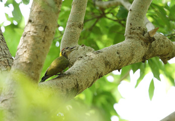 Grey-headed woodpecker in the forest of Jim Corbett