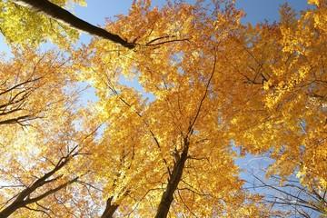 Autumn beech trees against the blue sky
