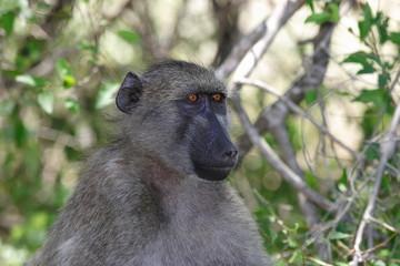 scimmia cercopiteco sudafrica animale selvaggio