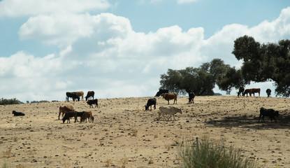 Grazing cattle in Spain