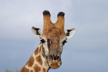 giraffa animale africano savana