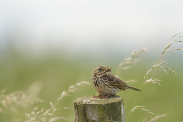 Mouthful Meadow Pipit