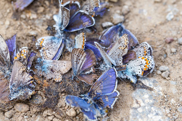 Destroyed butterfly family