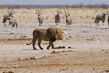 Löwe am Sonderkop-Wasserloch, Etoscha, Namibia, Afrika