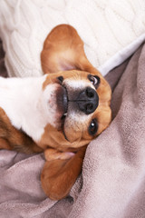 Beagle dog on bed close-up