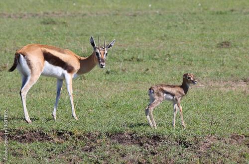 Fotobehang Antilope Gazelle mit Kind