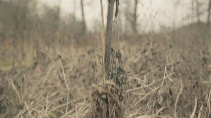 Dry dill filmed with camera crane