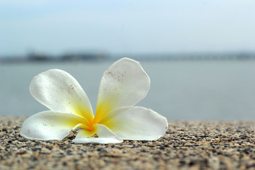 white frangipani flower on the sand
