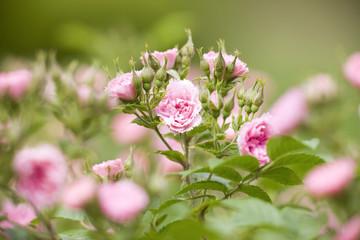 バラ ピンク・フレンチ・レース