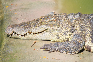 Pattaya crocodile farm, Pattaya. Thailand