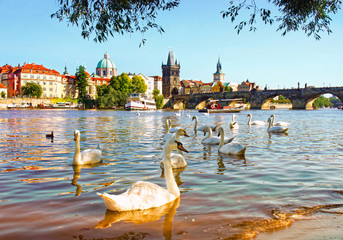 View on Charles bridge and Swans on Vltava river in Prague, Czec