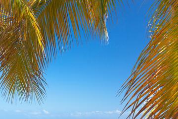 palmes mûres de cocotier sur fond de ciel bleu