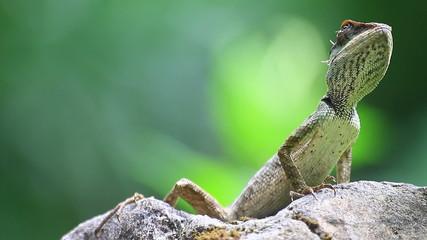 Green crested lizard, black face lizard, tree lizard