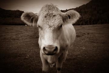 Cow Portrait in Sepia