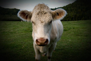 Cow Portrait in Color