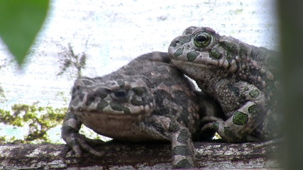 Two toads in their natural habitat
