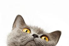 "Постер, картина, фотообои ""British shorthair cat"""