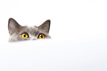 British shorthair cat on a white background