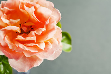 Close up of beautiful rose on grey background