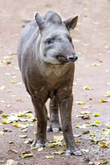 Tapir portrait while looking at you