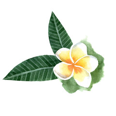 watercolor frangipani flower