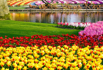 Spring yellow tulips and varicolored hyacinths