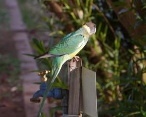 Australian Lincoln ringneck parrot on a tap in Australia