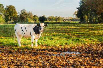 Dutch cow in meadow