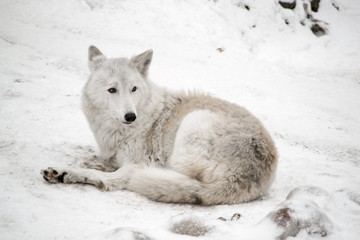 white wolf is laying on snow