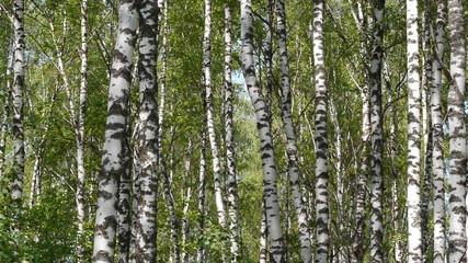 Trunks of birch trees in summertime
