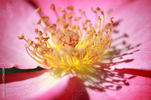 canvas print picture Rosenblüte pink