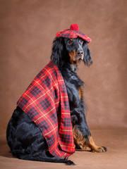 setter gordon dog