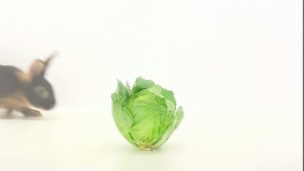 brown rabbit eats cabbage