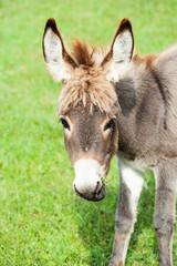 Small donkey, portrait