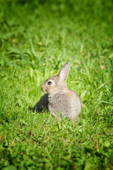 Bunny rabbit in a green grass