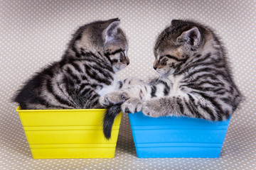 Two young kittens looking at each other while in trays on poka d
