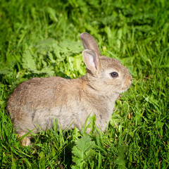 Bunny rabbit in a green grass