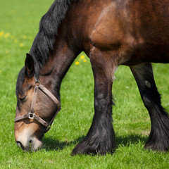 Brown horse eating grass on a field