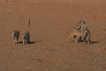 Erdmännchenfamilie (suricata suricatta)