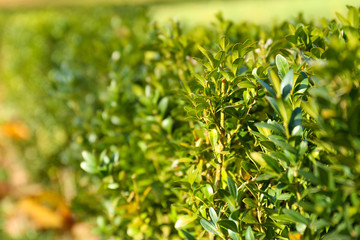 Beautiful boxwood shrubs in park