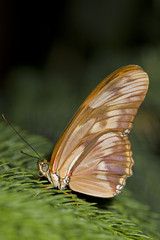 beautiful tropical butterfly setting in a conifer tree
