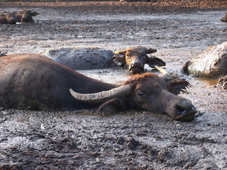 agriculture, animal,buffalo